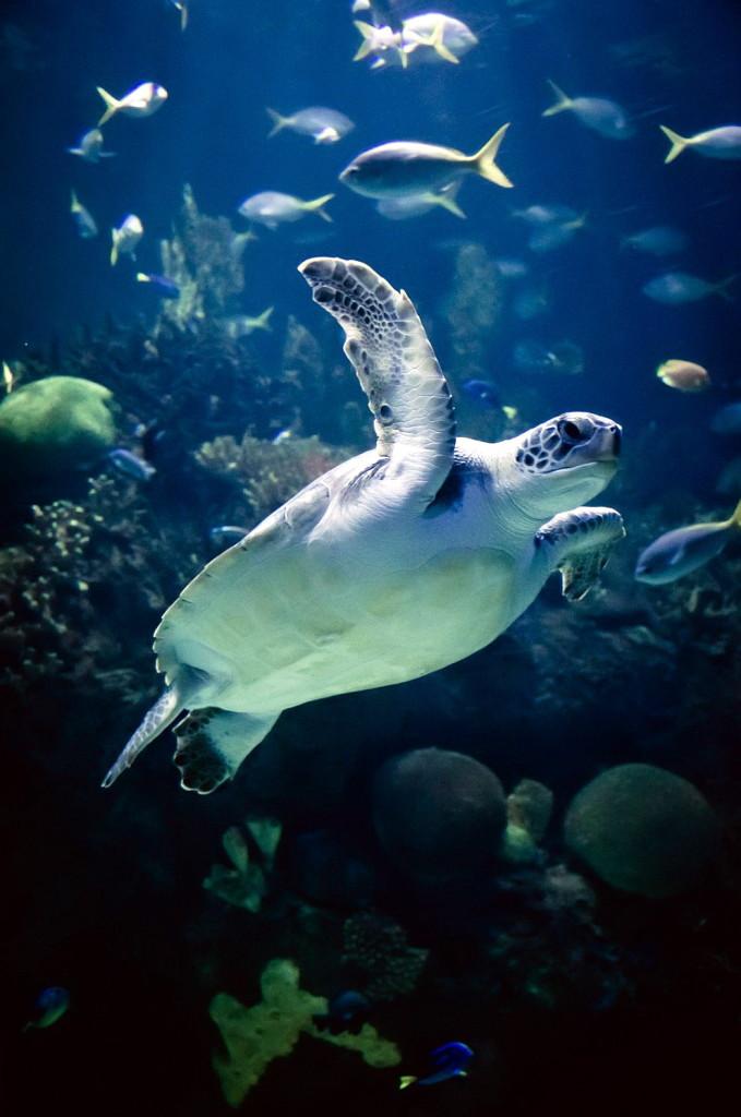 А вот морские черепахи (в отличие от акул, опять же) совершенно очаровательные создания. Живут ли они 300 лет? Ответ можно узнать именно в Океанариуме Валенсии!