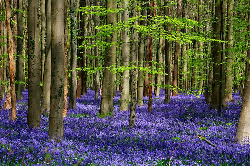 Популярные экскурсии в Брюсселе: Синий лес (Халлербос)